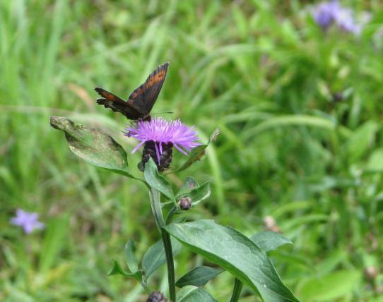 Aneta Weber, Zawada (motyl), wyróżnienie w kat. fauna i flora.jpeg